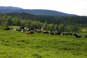 Spud's herd in pasture.  Photo courtesy of Organic Valley