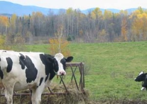 One of Spud's cows enjoying the fruits of his labors.  Photo courtesy of Warren Schultz and the Rodale Institute.