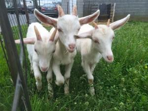 Three billy goats not-so-gruff.