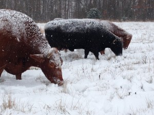Cows will graze through sot snow.  Clifford, our lead steer, in the foreground.