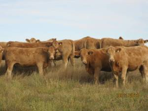 Charolais Red Angus cross cattle. Photo courtesy of rocksolidbredheifer.com