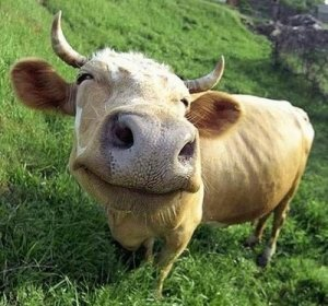 cowhap