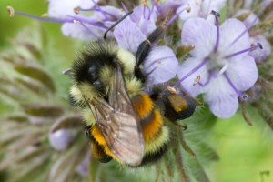 Bombus ternarius on phacelia cover crop at The Farm Between. Photo by Nancy Hayden