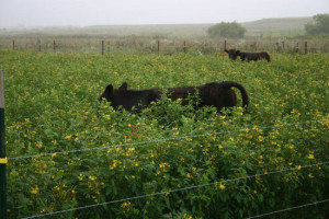 Cows grazing peas