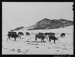 Winter feedlot in Lewis and Clark County, Montana, ca March 1942 by John Vachon via Modern Farmer.