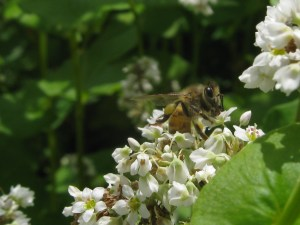Honeybee on buckwheat cover crop. Photo by Nancy Hayden