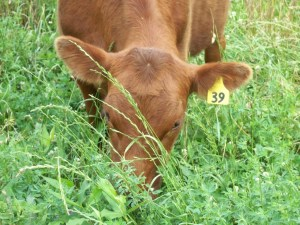 Cow grazing in mixed alfalfa grass pasture. Photo by Steve Freeman