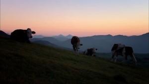 324867804-grazing-cow-bovid-production-animal