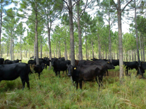 Regardless of the species of forage plants, trees or livestock, principle of silvopasturing remain the same: each is managed together in a symbiotic, synergistic and sustainable system.