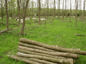 Silvopastures can provide more than just quality grazing for livestock. This Black Locust plantation has yielded fence posts with a wholesale value of over $1500/acre – and the best trees still remain for future harvests.