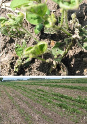 Example of soybeans damaged by Picloram contaminated manure applications. Photos by Bruce Potter