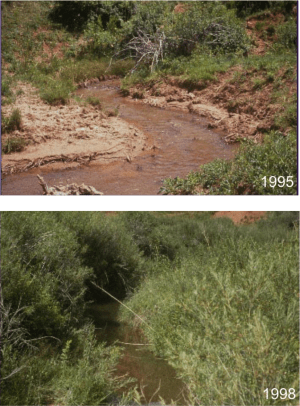 Changes in riparian area cover from 1995 to 1998 after herding was implemented at Red Canyon Ranch.