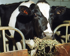 Dairy_Cow_eating_hay-Dave_Christenson