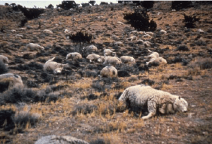 Figure 3. In 1971, 1250 dead sheep scatter the range after they over-ingested halogeton near Garrison, Utah. The availability of livestock water was limited and the range was heavily infested with halogeton. In this case, poor management led to the deaths of these sheep.