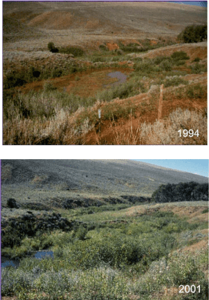 Changes in riparian area cover from 1994 to 2001 after herding was implemented at Red Canyon Ranch.