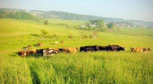 The Prigel Family Creamery has appeared in On Pasture articles about how they switched from grain to graze, and how they manage their grazing dairy herd. Click to see the articles.