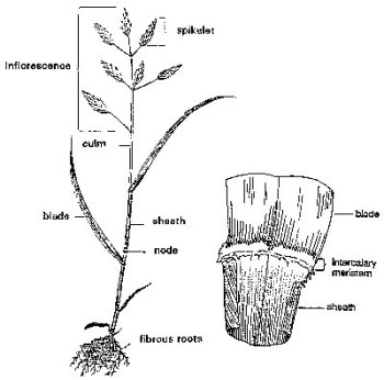 Figure 2: A reproductive grass tiller. This tiller has a stem (or culm) and seedhead that differs from the tiller in Figure 1. Intercalary meristematic tissue at the base of the leaf blade, near the ligule (insert), allows for leaf expansion.