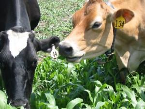 Cows grazing sorghum sudan.