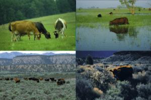 The cows in each of these places probably have different cultures. It is easier to move animals from a poor environment to good one. Thus, it's easier to move animals from environments depicted in the top right or bottom photos to the top left photo than the reverse. Providing animals with familiar foods in unfamiliar environments or offering animals novel foods they will encounter in the new environment prior to moving them should help them make the transition more smoothly.