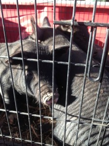 The pigs head home in a dog crate
