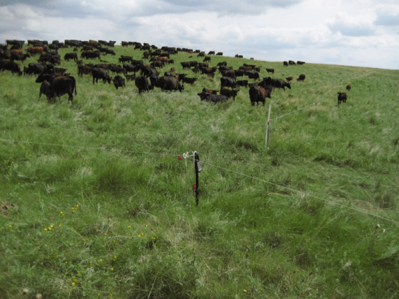 Mob Grazing Medium Density