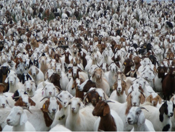 The Most Successful Goat Grazing Business In The U S Is For Sale On Pasture