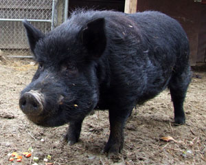 The Guinea Hog is a small, black breed of swine that is unique to the United States. Also known as the Pineywoods Guinea, Guinea Forest Hog, Acorn Eater and Yard Pig, it was once the most common pig found on Southeast homesteads. These pigs are smaller than most breeds. Rebecca says these had hanging weights of 85-100 pounds at 10 months. They make a fine charcuterie pig and some chefs love them. She also notes that this breed has more fat, and only about 40% lean meat. So you market it for the fat. She made lard, using some of it to mix with lean deer meat for a nice venison sausage.