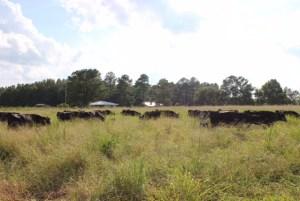 Beef Cattle grazing Mojo Crabgrass in North Carolina