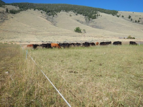 What it looks like behind the cattle following 2x per day moves
