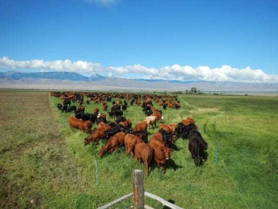 Density of Jim Gerrish Cattle