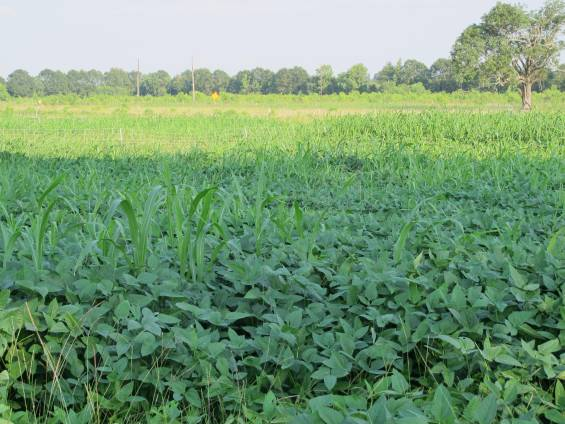 Cowpeas and Sorghum-Sudan Grass planted in a prepared seedbed.