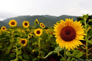 single-sunflower-photography-wallpaper-2