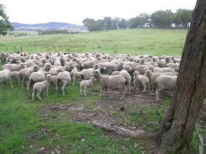 Some shorn ewes and their lambs in New South Wales. Photo courtesy of Wikipedia.