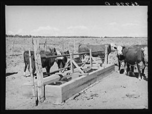 Historic photo of George Huttons cattle at a water trough near Pie Town, NM.