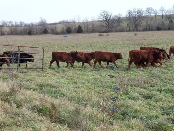 Calves back to pasture. Weaned!