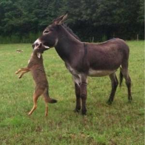 donkeybitingcoyote