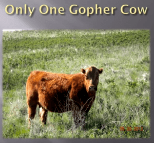 """Changing to May June calving means the Sands don't have """"Gopher"""" cows anymore. This 7 year old cow is one of their best, but she was born in the old days when freezing temps could ruin a cows ears and good looks."""