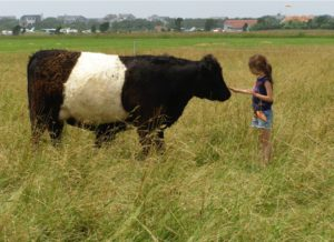 Belted Galloway on Katama Farm