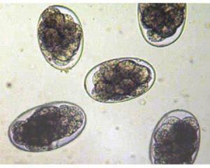 Haemonchus contortos eggs.