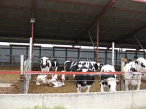 Photo showing animals that received antimicrobials in their diet and antimicrobial-containing manure accumulation on the floor of the pen.