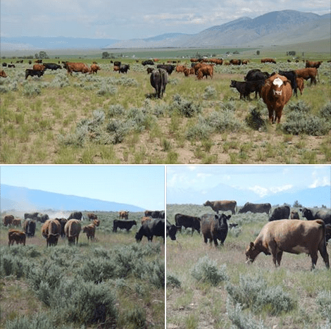 Jim Gerrish Cattle grazing crested wheatgrass