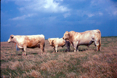 charolais_cattle