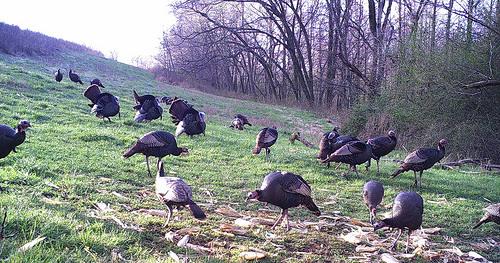 Turkeys roaming free within the protective fences on Chuck Borum's farm.