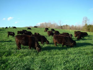 Cattle grazing triticale