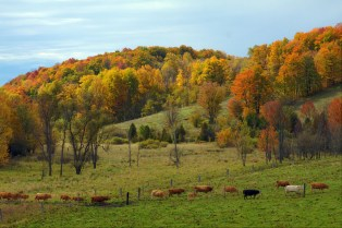 cows-graze-in-the-fall
