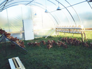 Pullets and their hoop house