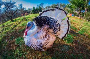 1280px-royal_palm_turkey