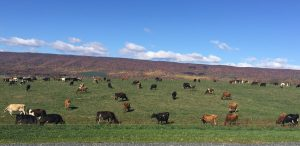 Cattle graze at Emerald Valley Farm, a 200 head dairy operation in Newville, owned and operated by Clifford and Maggie Hawbaker.