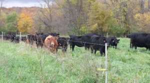 Grazing stockpiled tall fescue certainly extends the grazing season and reduces input costs. Photo by Victor Shelton