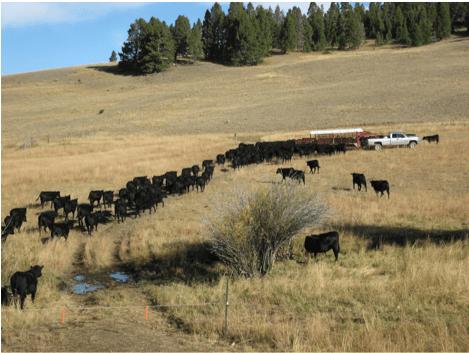 heifers-head-to-trailer